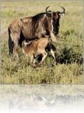 antilopa.jpg