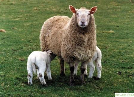 Овца и двое ягнят