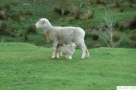 Ягненок сосет грудь овцы