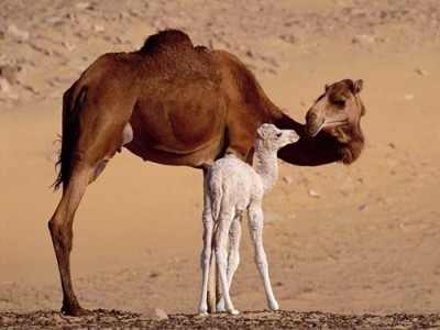 Верблюдица с верблюжонком