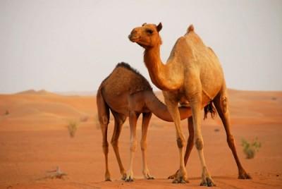 Верблюжонок сосет молоко у мамы