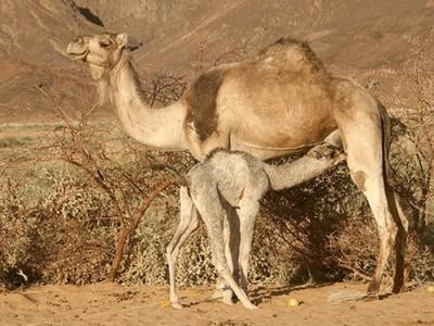 Верблюжонок-дромадер сосет молоко у маминой груди