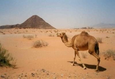 Верблюд дромадер или дродемар