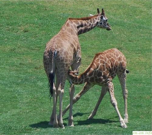 жирафик приложился к маминой груди