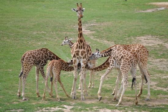 несколько чужих детей сосут грудь мамы-жирафихи