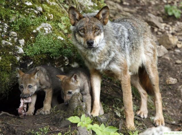 Волчица и два волчонка с куском мяса в зубах