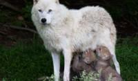 Белая волчица кормит грудью двух волчат