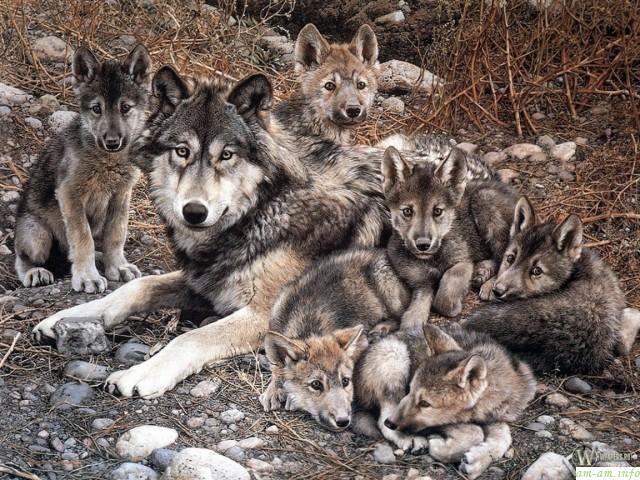 Волчица и шесть волчат щенков на камнях